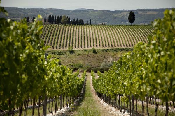 Antinori's vineyards