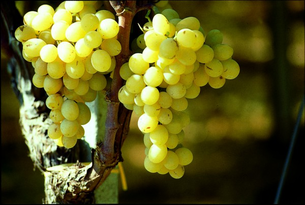 There are more than 8,000 grape varieties from about 60 species