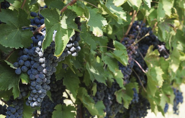 It takes about 2.5 pounds of grapes to make one bottle of wine