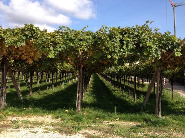 Allegrini vineyards